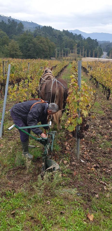 Demostración práctica dos traballos na viña con tracción animal