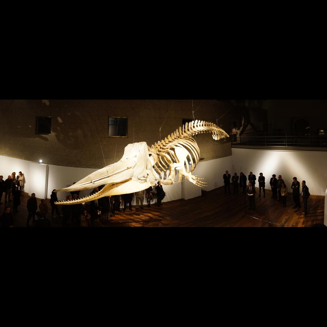 Esqueleto de cachalote
